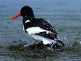 Oystercatcher on the Elbe River ( BSU)